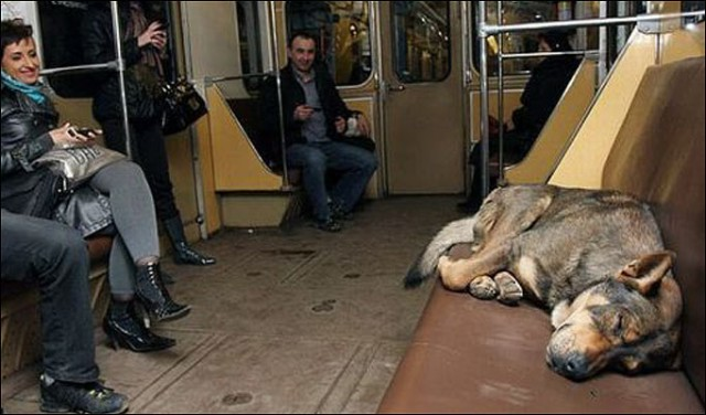 Clever dogs using Russias subways