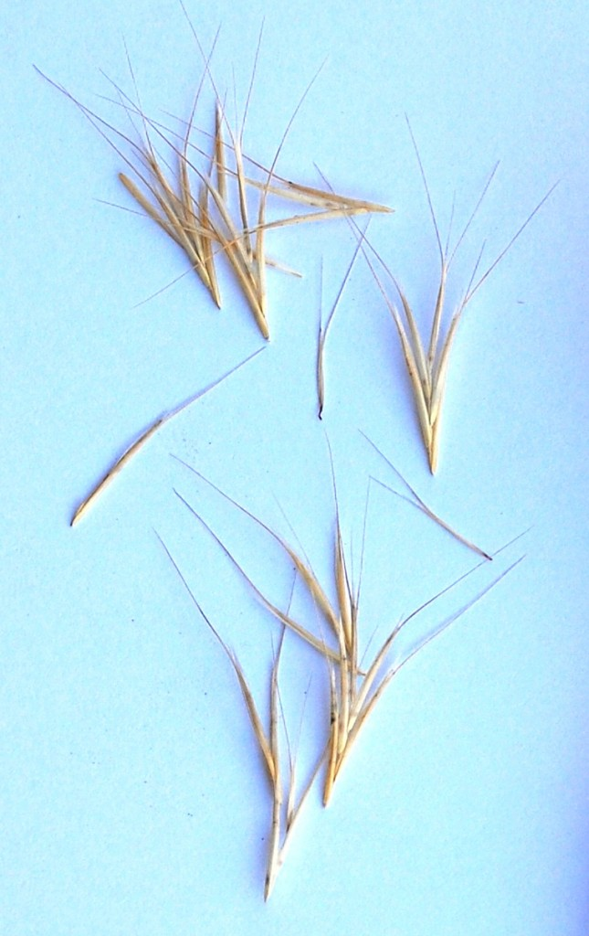 Foxtail (diaspore) Seeds